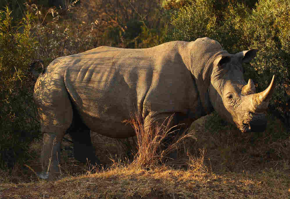 On the brink of extinction in the late 19th century, with a around 50 left in the wild, the White Rhinoceroses population has rebounded to an estimated 20,000 today.