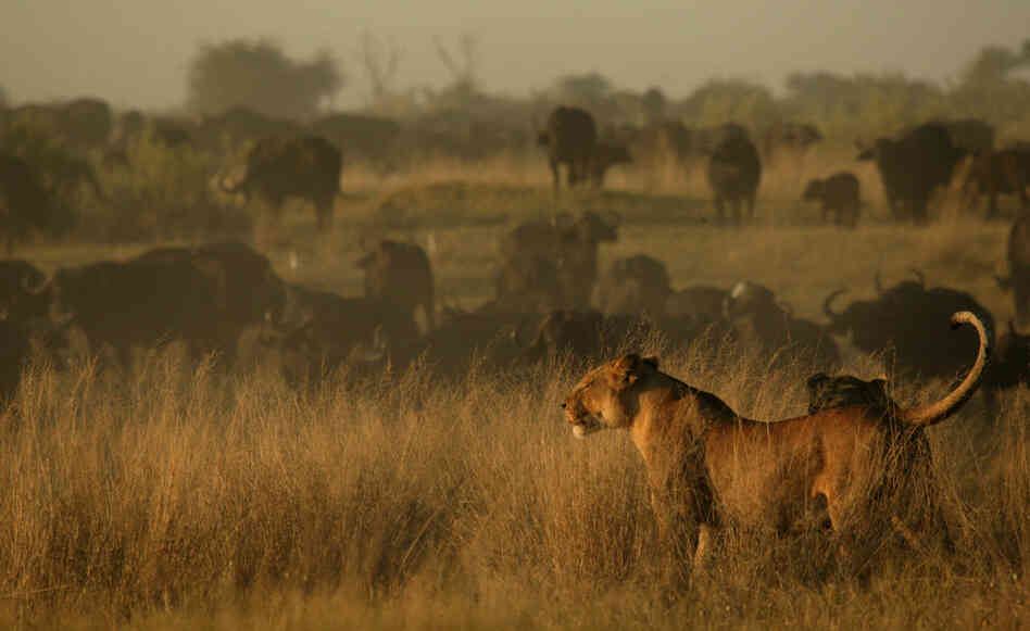 The lioness takes her pride to an island in Botswana's Okavango Delta that is populated by buffalo. Although the buffalo are one of her biggest threats, they are also one of her best hopes for survival if she can prevail over them.