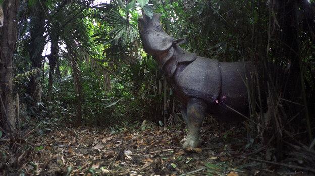 A motion-sensor image of a Javan rhino feeding in Ujung Kulon National Park, Indonesia.