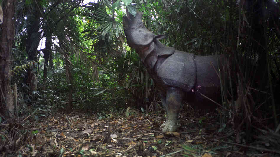 A motion-sensor image of a Javan rhino feeding in Ujung Kulon National Park, Indonesia.