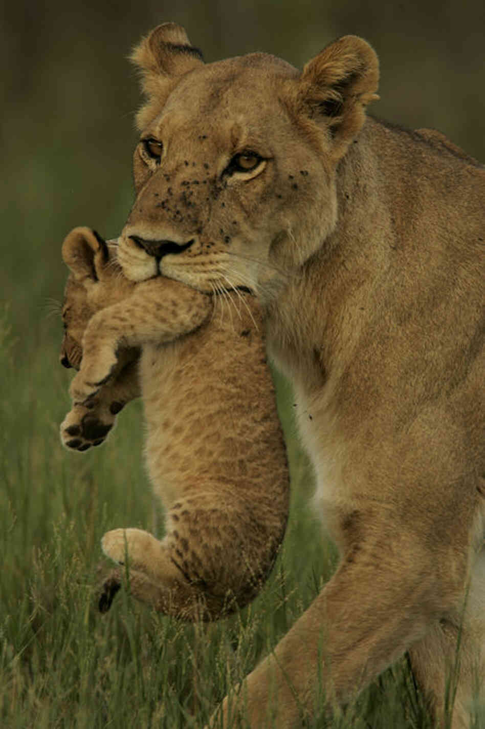 The lioness, whom the filmmakers have dubbed Ma di Tau, finds herself struggling to hunt alone with cubs to feed.