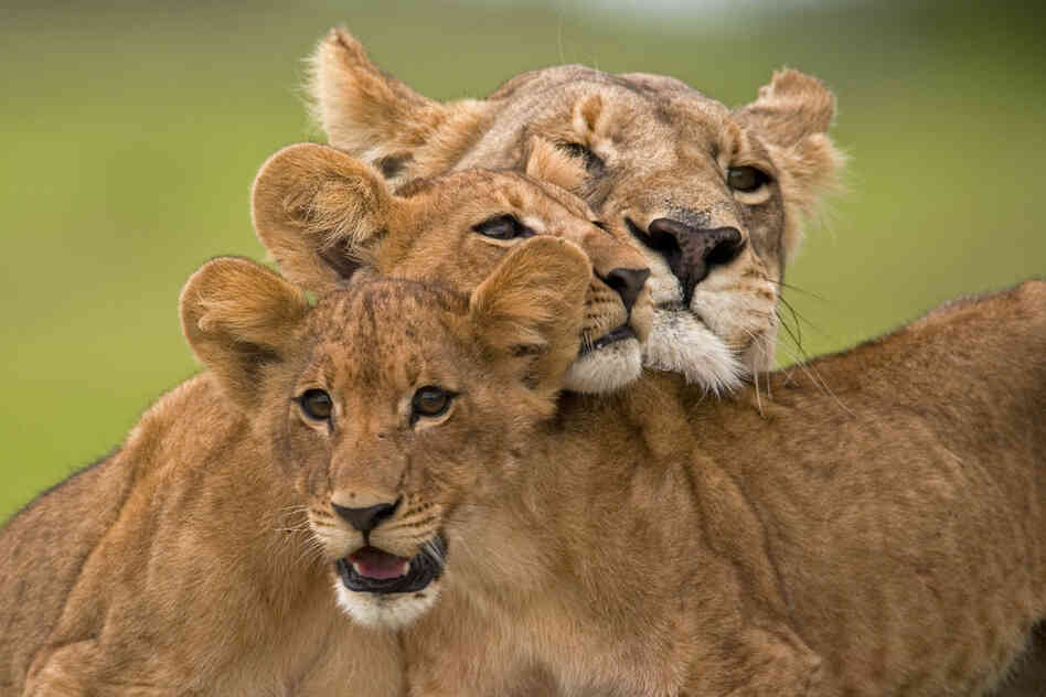 "In ""The Last Lions,"" filmmakers Dereck and Beverly Joubert follow a lioness trying to provide for her cubs and protect them from a rival pride after her mate dies."