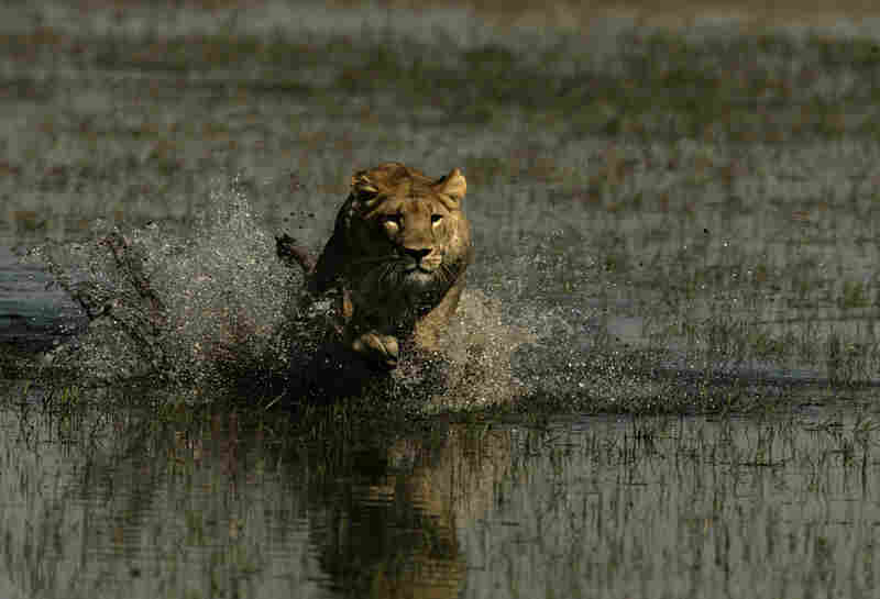 Lions traditionally hate water, says Beverly Joubert. But Ma di Tau crossed muddy streams to find a new home for her cubs.