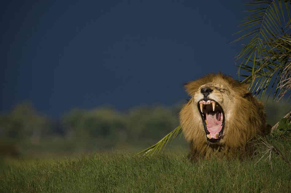 A lion relaxes on Duba Island. In the last 50 years, lion populations have plummeted from 450,000 to as few as 20,000.