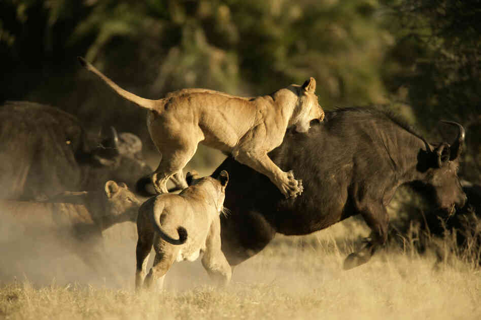 A pack of lions attack an African buffalo, while swarmed by the rest of its herd.