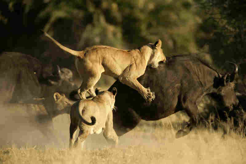 Without Intervention Lions Heading For Extinction Npr
