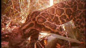 A screengrab image taken from a rare video of the Sumatran Sundaland Clouded Leopard.