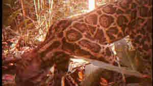 A screengrab image taken from a rare video of the Sumatran Sundaland Clouded Leopard.