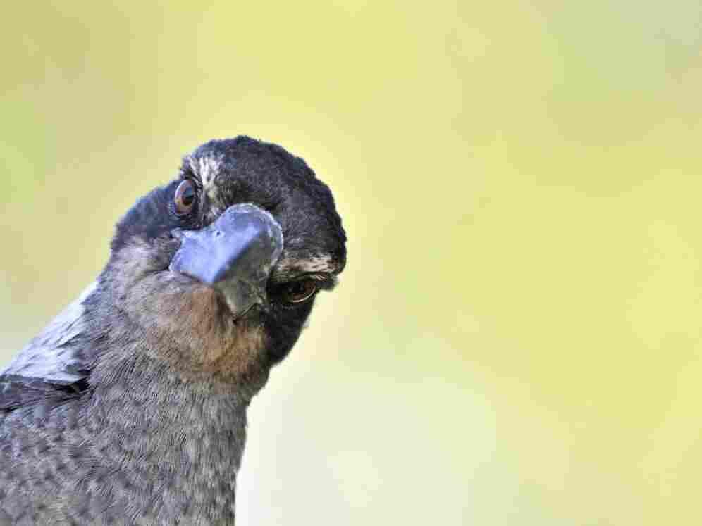Australian brown magpie