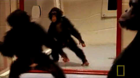 A baby chimp playing in front of a mirror.