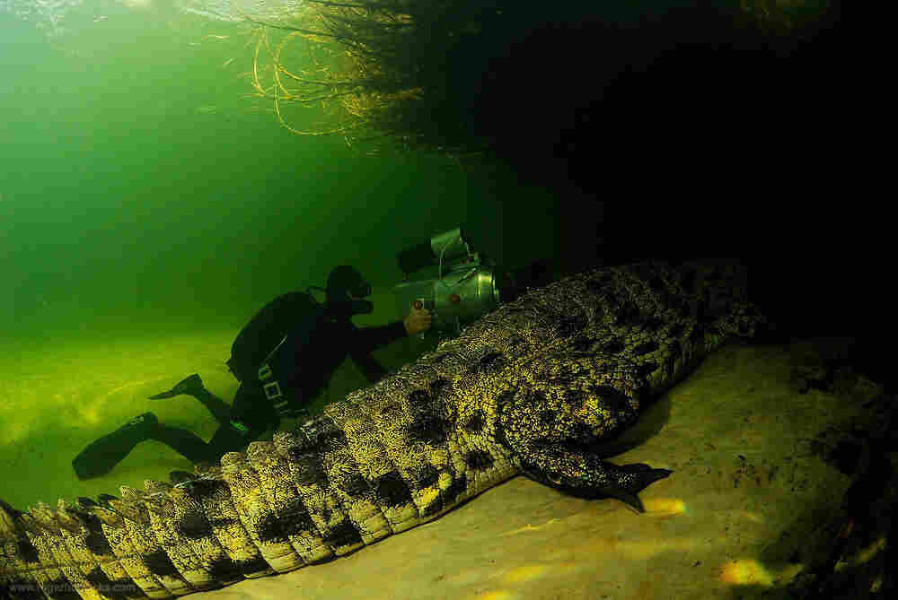 Didier Noirot films a Nile crocodile in the Okavango Delta. The crocs can grow up to 21 feet and live for 100 years.