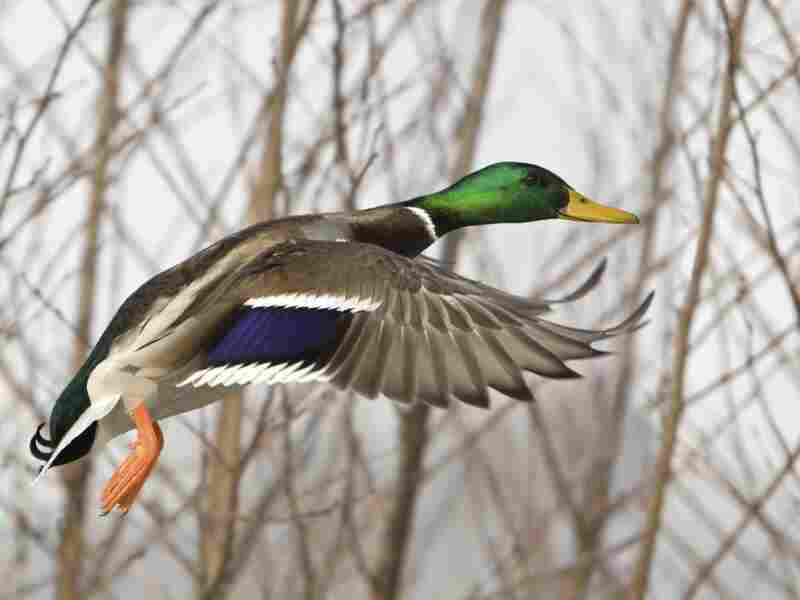 Duck flying. iStockphoto.com