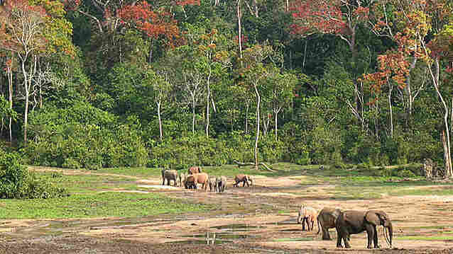 Forest elephants in Central African Republic use snorts, screams and trumpets to communicate.