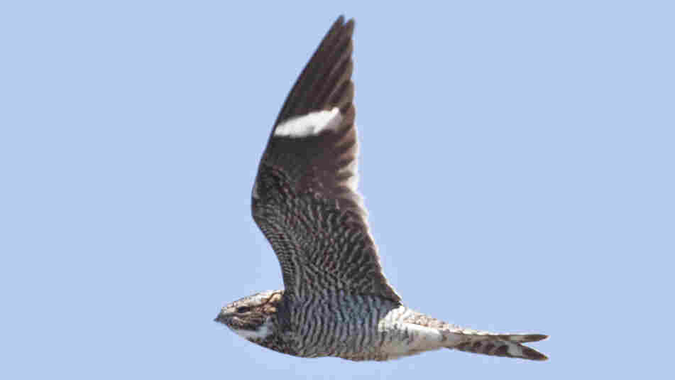 "Nighthawks are known for their repeated ""peent"" call as they hunt for flying insects."