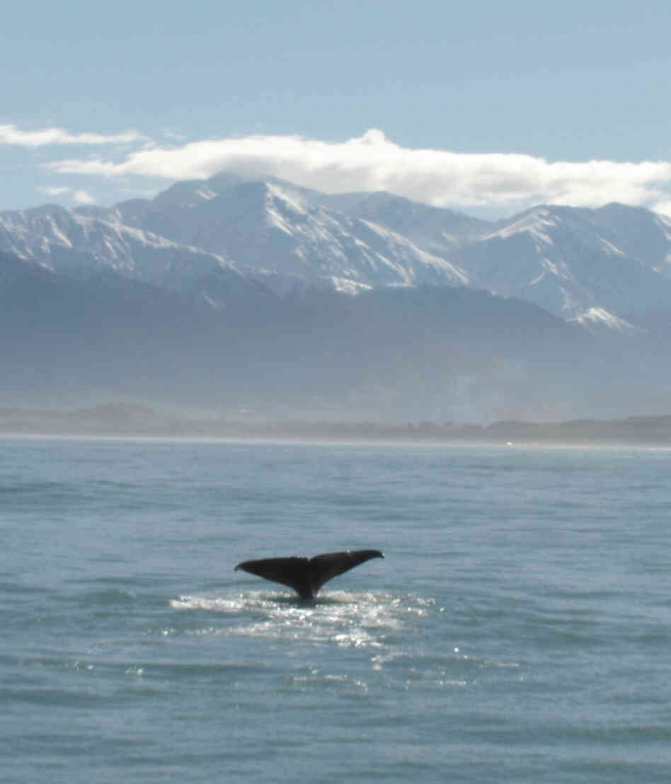 A sperm whale at Kaikoura, New Zealand.