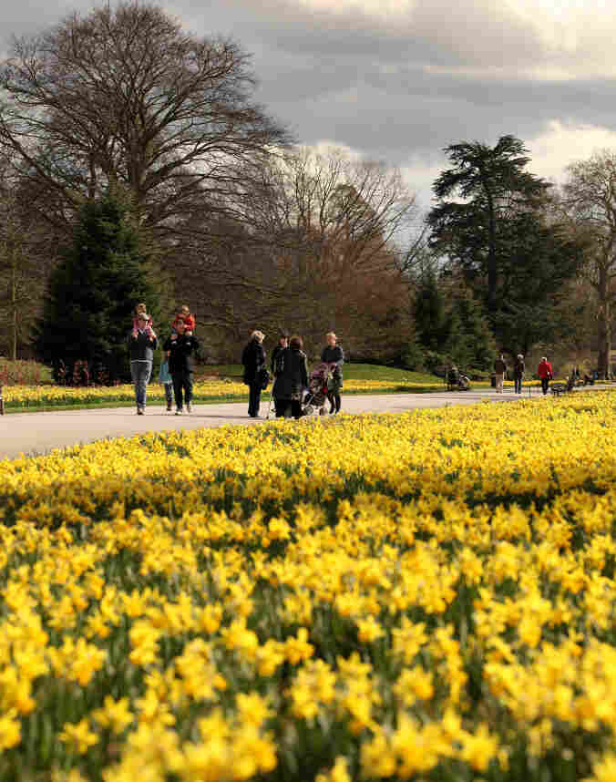 Daffodils at the Royal Botanic Gardens in Kew are in full flower on March 28, 2010 in London, England.