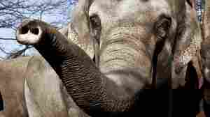 Gotcha! Elephant Caught Cheating