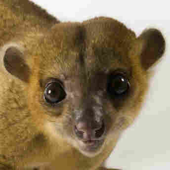 There's a risk of infection with roundworms from kinkajou poo.