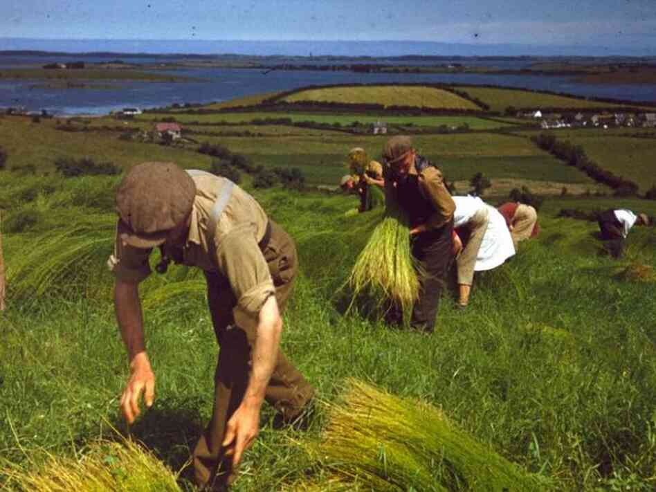 Harvesting flax, County Down, Northern Ireland, 1948