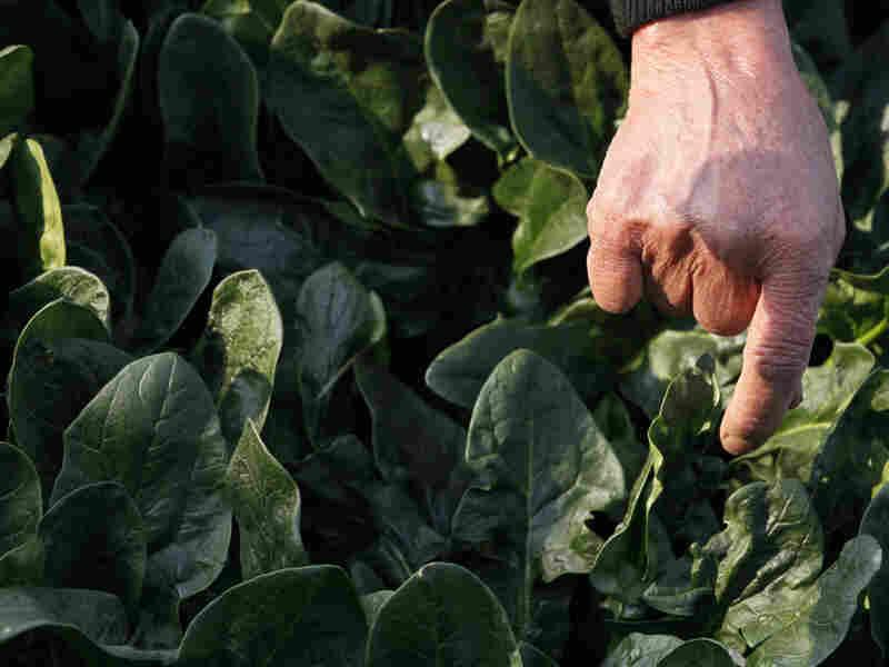 Chiyoko Kaizuka, 83-year old farmer, weeds a spinach field in Moriya.