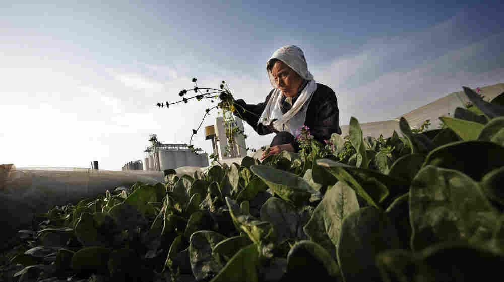 Chiyoko Kaizuka, 83-year-old farmer, weeds a spinach field March 20, in Moriya, Ibaraki prefecture.