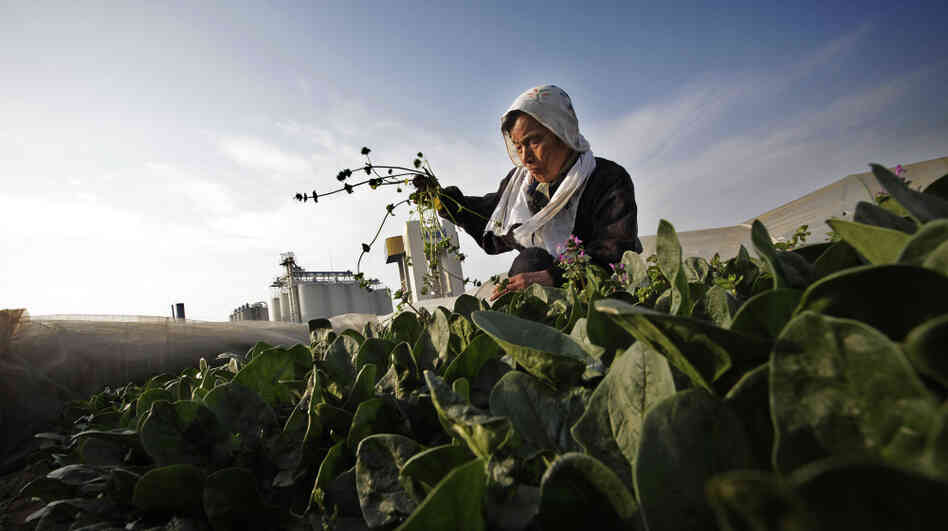 Chiyoko Kaizuka, 83-year-old farmer, weeds a spinach field March 20, in Moriya, Ibaraki prefecture.