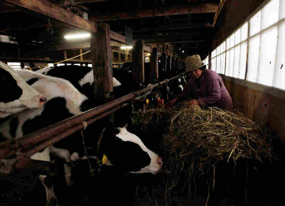 A woman feeds her cattle at a farm in Futamata, Fukushima prefecture, March 20, 2011.