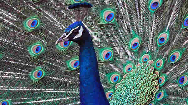 Like a peacock fanning his feathers, strut your knowledge of birds and classical music by acing this puzzler.