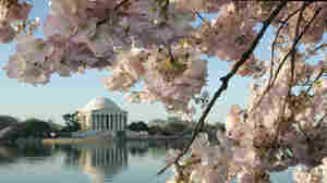Cherry trees bloom in Washington, D.C.'s tidal basin, with the Jefferson monument in the background. Japan gave 3,000 trees as a gift to the U.S. in 1912.
