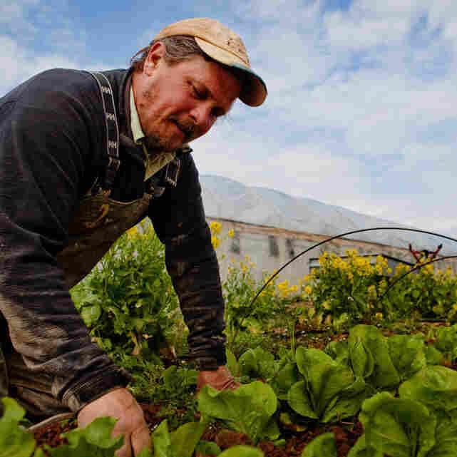 Old-Time Methods Yield Spring Greens All Winter