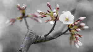 How D.C.'s Cherry Blossoms Almost Didn't Bloom