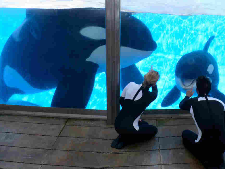 The killer whale Tilikum, left, will resume performances at SeaWorld a year after killing trainer Dawn Brancheau.