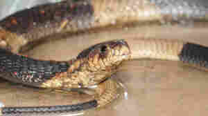 In this photo released by the Wildlife Conservation Society, the Bronx Zoo's once missing Egyptian Cobra  is seen at the Bronx Zoo's Reptile House.