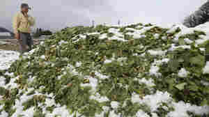 A farmer stands in front of a mountain of spinach, disposed after gathering in Fukushima, Japan, on March 26. The government has banned the sale of milk, spinach and other leafy vegetables from Fukushima and neighboring prefectures.
