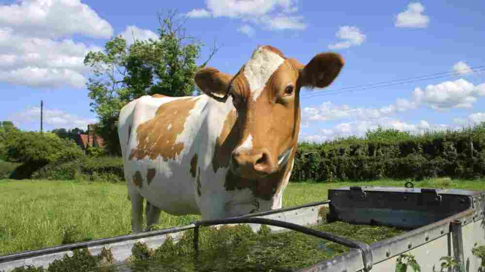 Cows that consume feed, grass or water contaminated with radioactive iodine-131 can  concentrate the element in their milk.