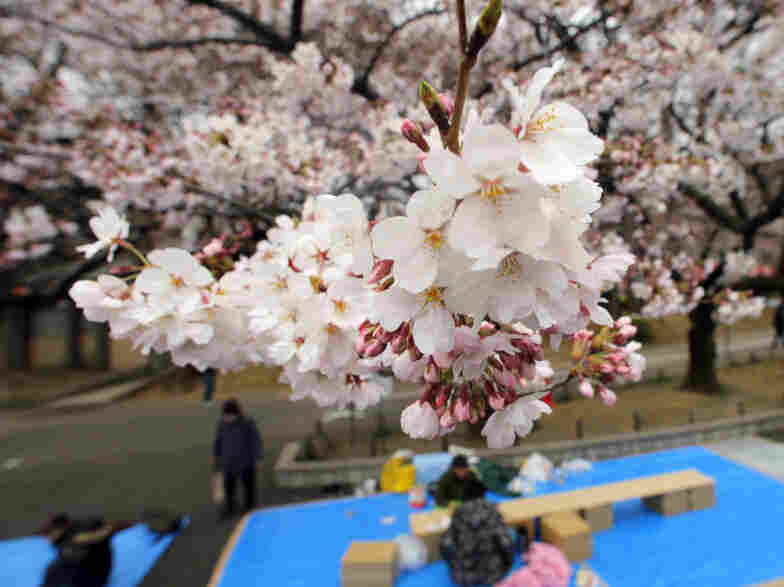 People place sheets on the ground Sunday, awaiting their companions under the cherry trees at Tokyo's Ueno Park. The announcement of Tokyo's cherry-blossom viewing season, normally highly anticipated, has been overshadowed this year by Japan's ongoing crisis.
