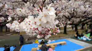 Celebrating Spring Amid Devastation In Tokyo