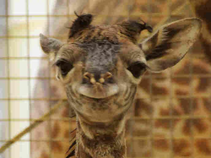 Close-up of giraffe calf face
