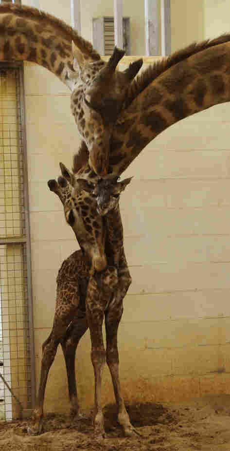 """Zookeepers say they don't know the calf's official weight just yet — """"we are giving it time to bond with  its family,"""" a spokesperson said. The zoo estimates the calf weighs approximately 100  pounds and stands between 5 and 6 feet tall."""