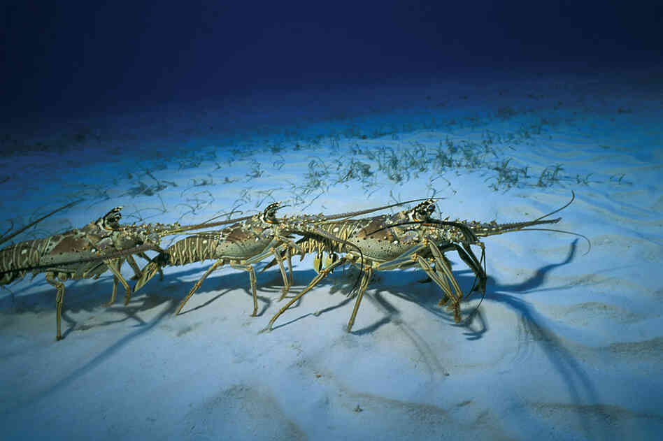 Lobsters will spray urine, like a perfume, to lure potential mates.
