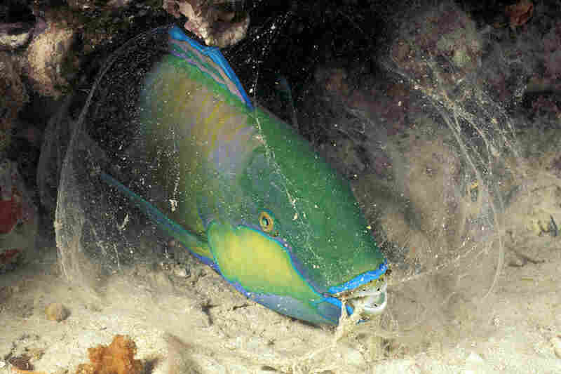 The parrotfish excretes a cocoon of mucus from its mouth that can hide its scent from predators and perform as a warning system for intruding prey.