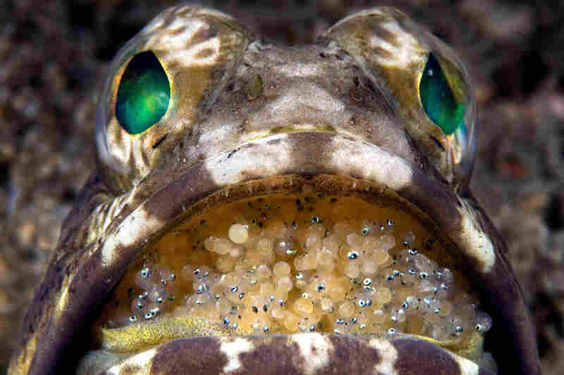 Jawfish protect their eggs from predators by hatching them in their mouth.