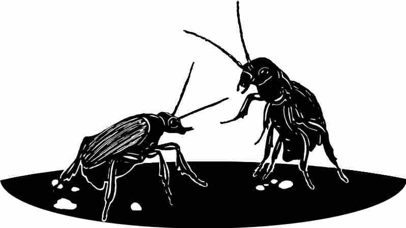 Beetles in conversation
