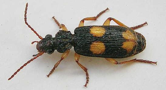 The Bombardier beetle.