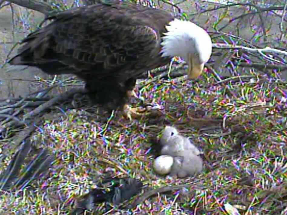 Tending to the eaglets.