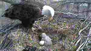 'Eagle Cam' Soars With Millions; Third Egg To Hatch Soon?
