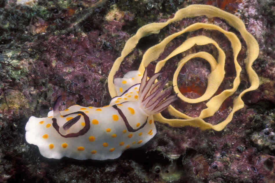 A Chromodoris annulata deposits a spiral of eggs.