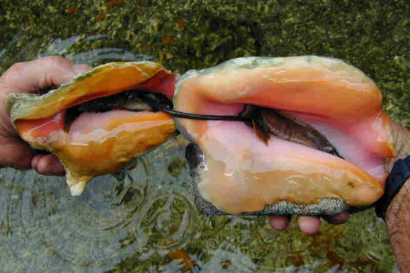 A conch sexual encounter involves the male extending a verge to the female. Predators will sometimes feed on a male conch's verge, but the conch has evolved to regenerate its sexual organ.