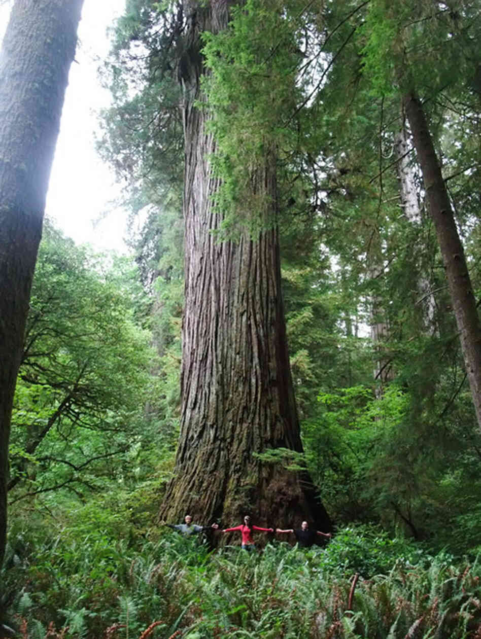 the worlds tallest tree is hiding somewhere in california