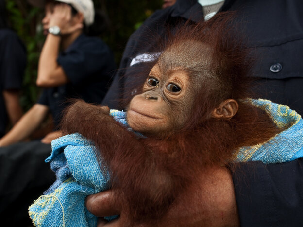 This baby orangutan is among those cared for in the new documentary, Born To Be Wild.